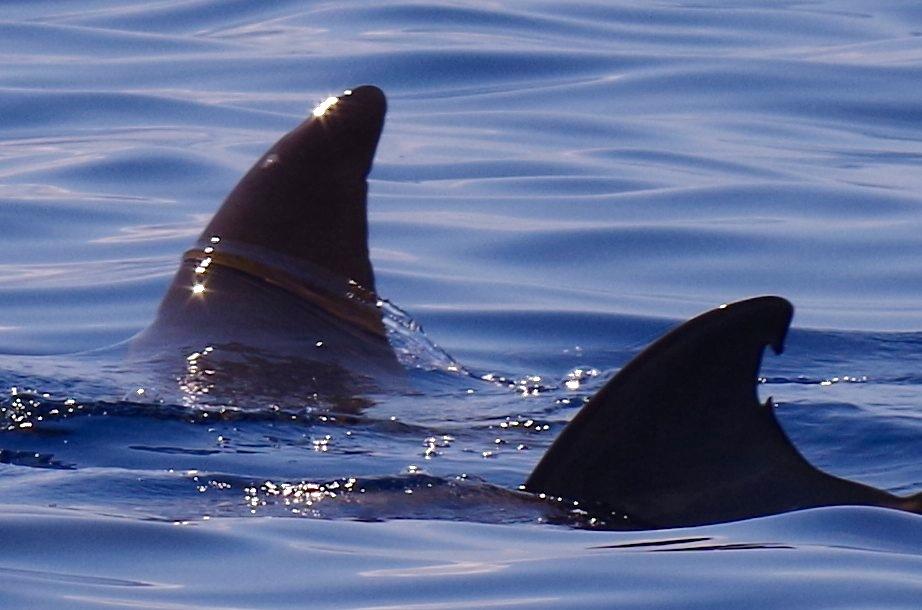 Blainville's Beaked Whale, Sandy Point, Abaco 18 (Keith Salvesen