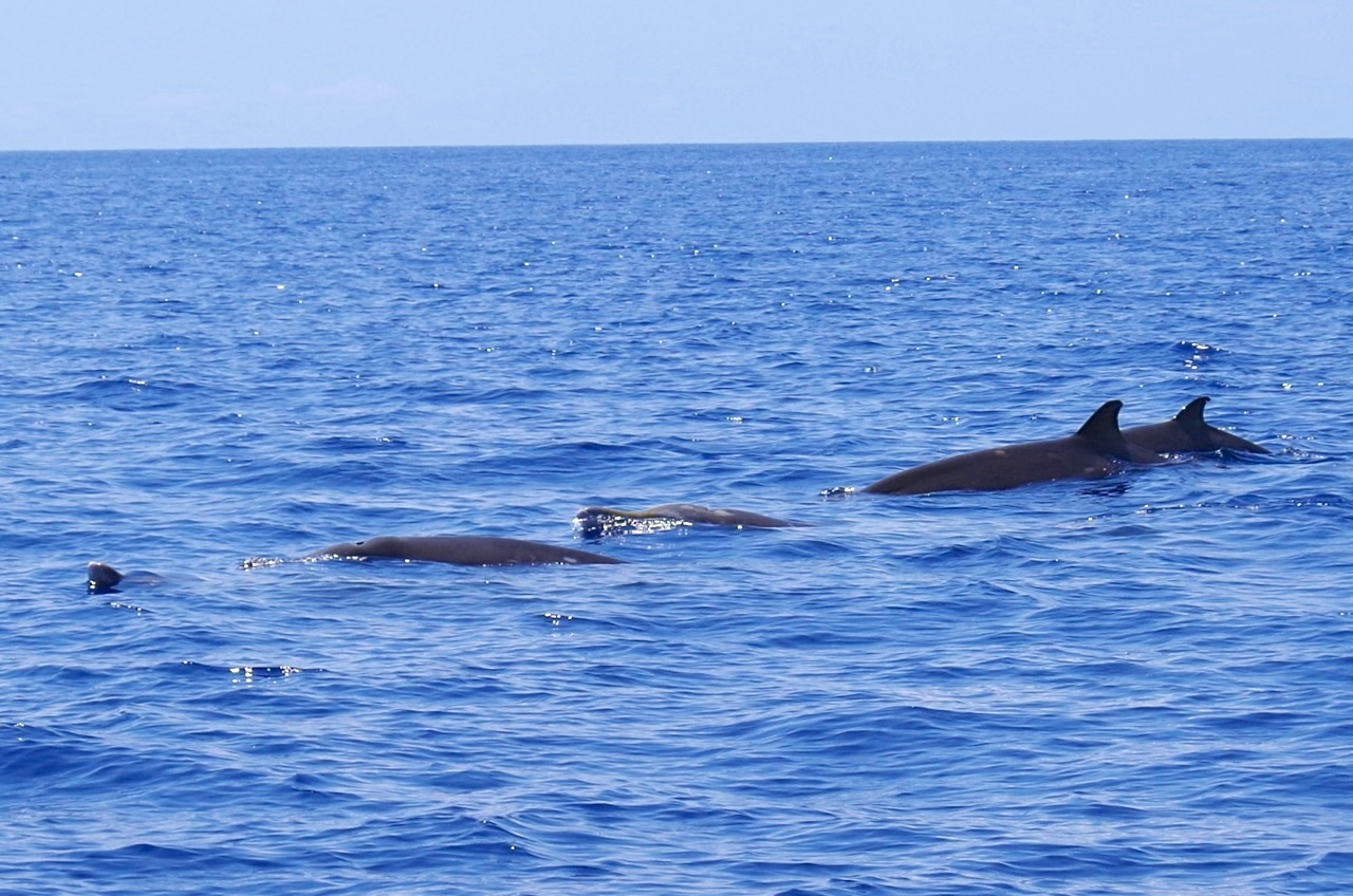 Blainville's Beaked Whale, Sandy Point, Abaco 7 (Keith Salvesen