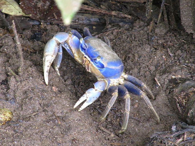 Blue crab (Atlantic) - Leoadec Wiki
