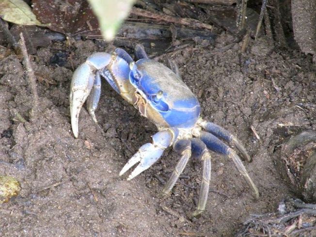 Blue crab (Atlantic) - Leoadec Wiki