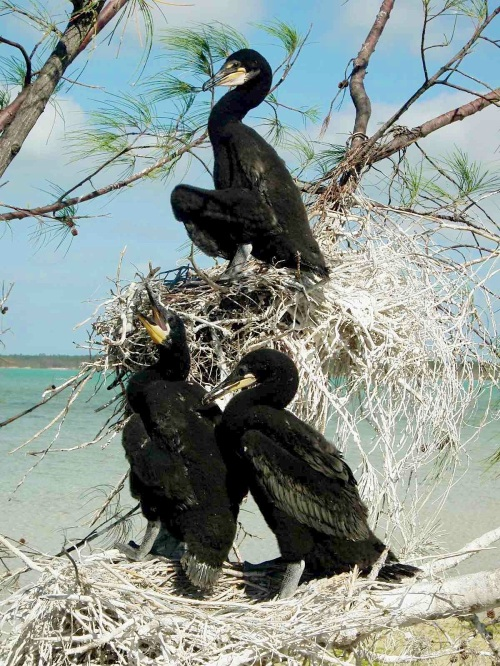 Double-crested cormorant nest with 3 chicks, Abaco (Jim Todd)