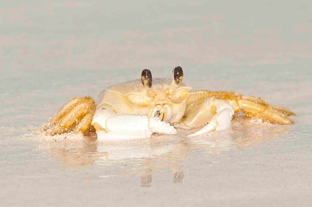Ghost Crab in surf.Delphi Club.Abaco Bahamas.Tom Sheley