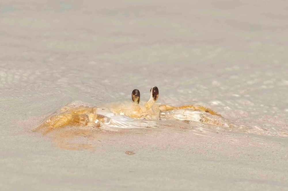 Ghost Crabin surf.Delphi Club.Abaco bahamas.Tom Sheley