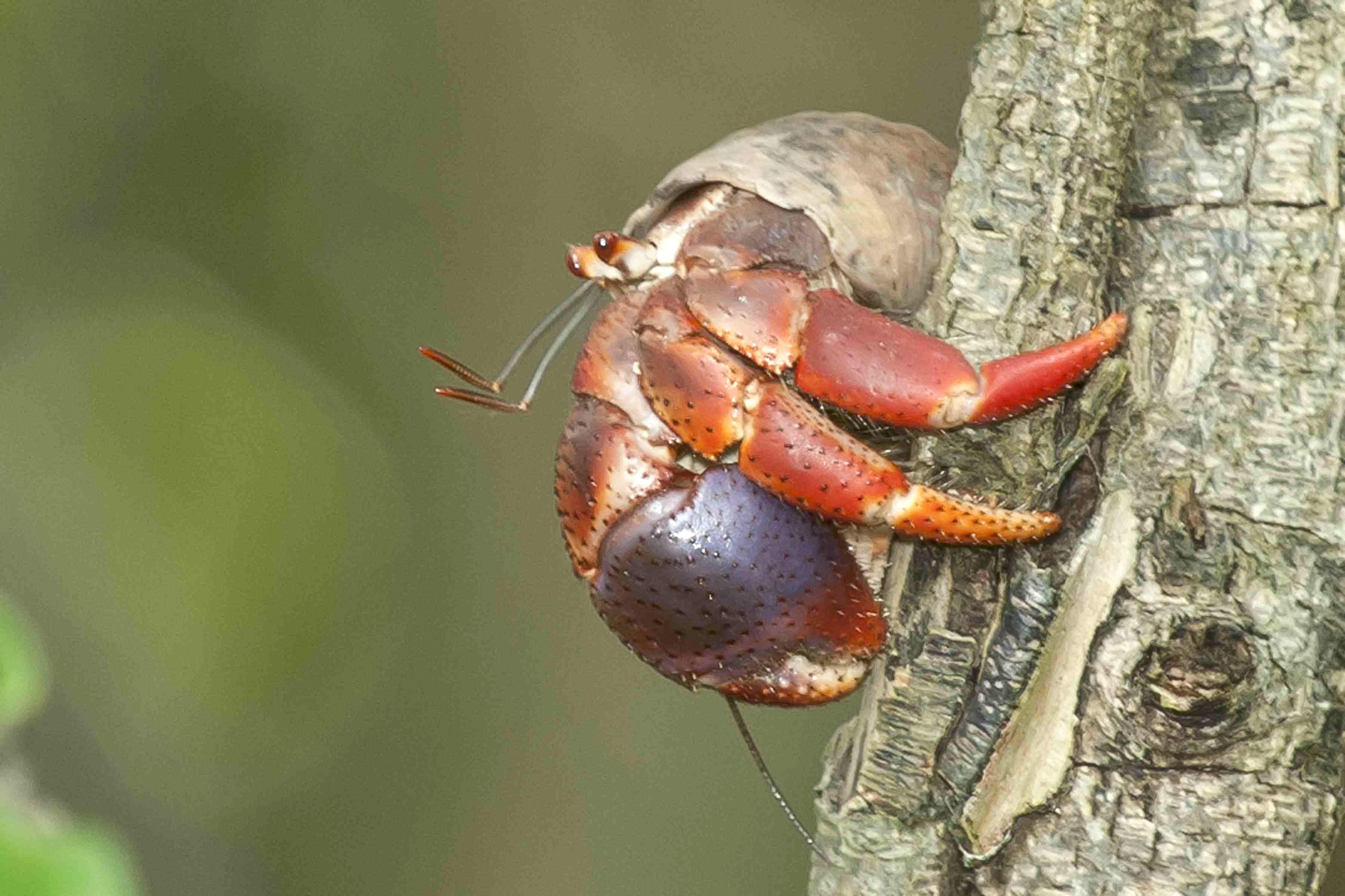 Hermit Tree Crab.Abaco Bahamas.6.13.Tom Sheley copy