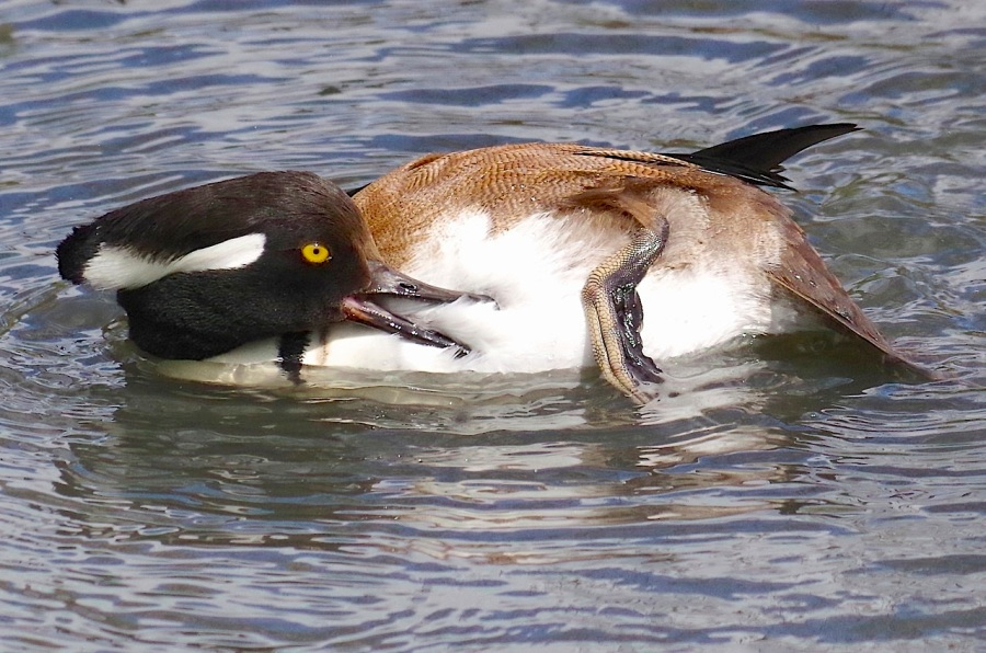 Hooded Merganser - male (Keith Salvesen WWT)