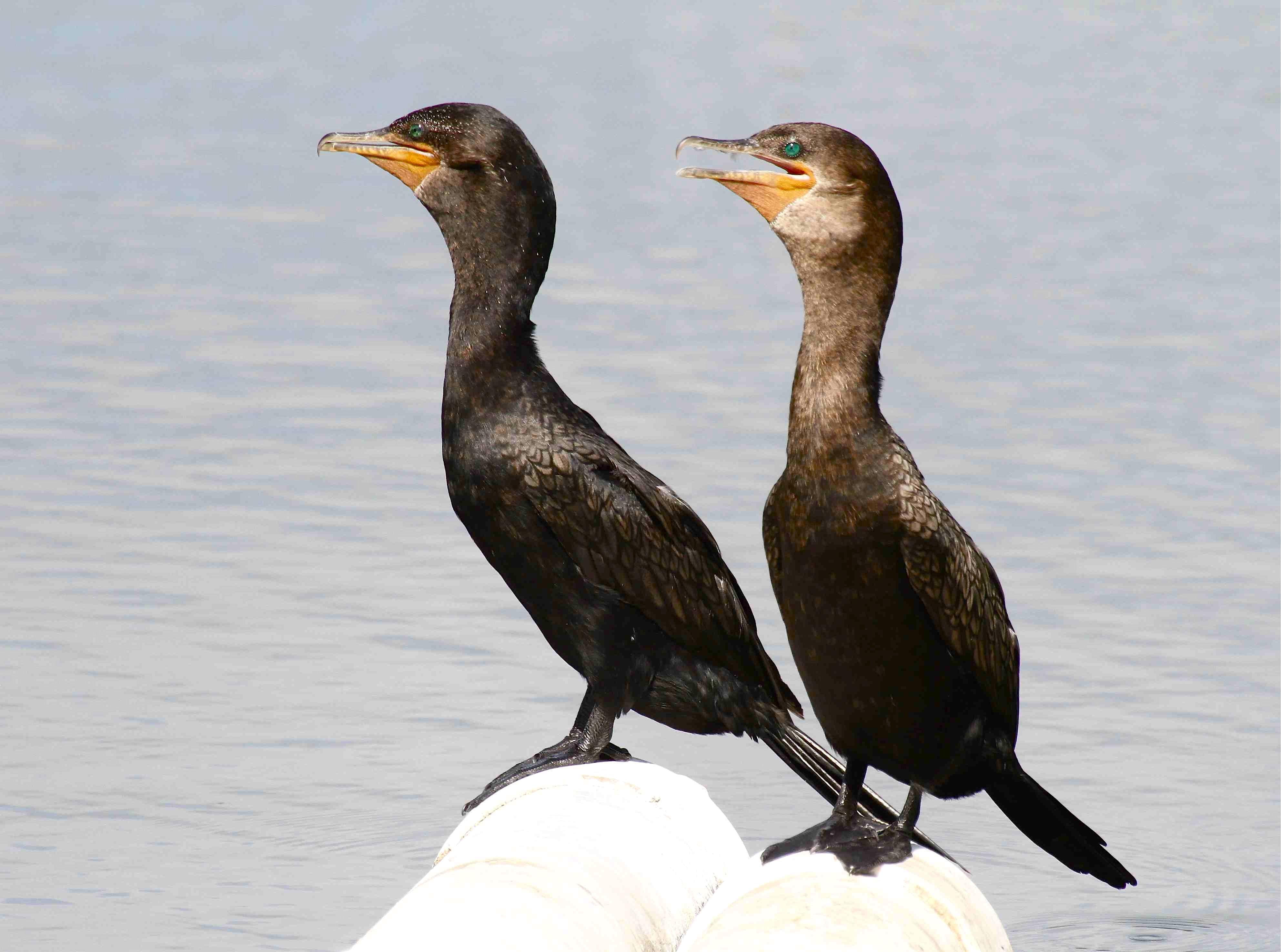 Neotropic Cormorants, Treasure Cay, Abaco Bahamas - Bruce Hallett