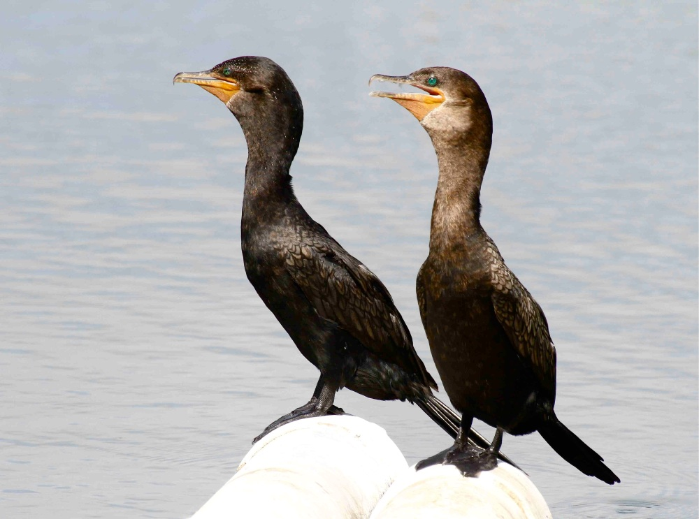 Neotropic Cormorant, Abaco 3 (Bruce Hallett)