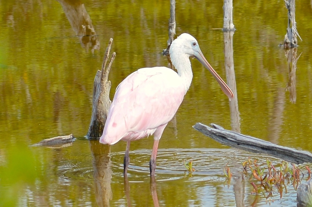 Roseate Spoonbill, Gilpin Pond, Abaco (Keith Kemp)2