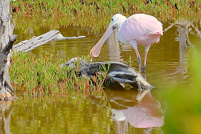 Spoonbill, Gilpin Pond, Abaco (Keith Kemp)3