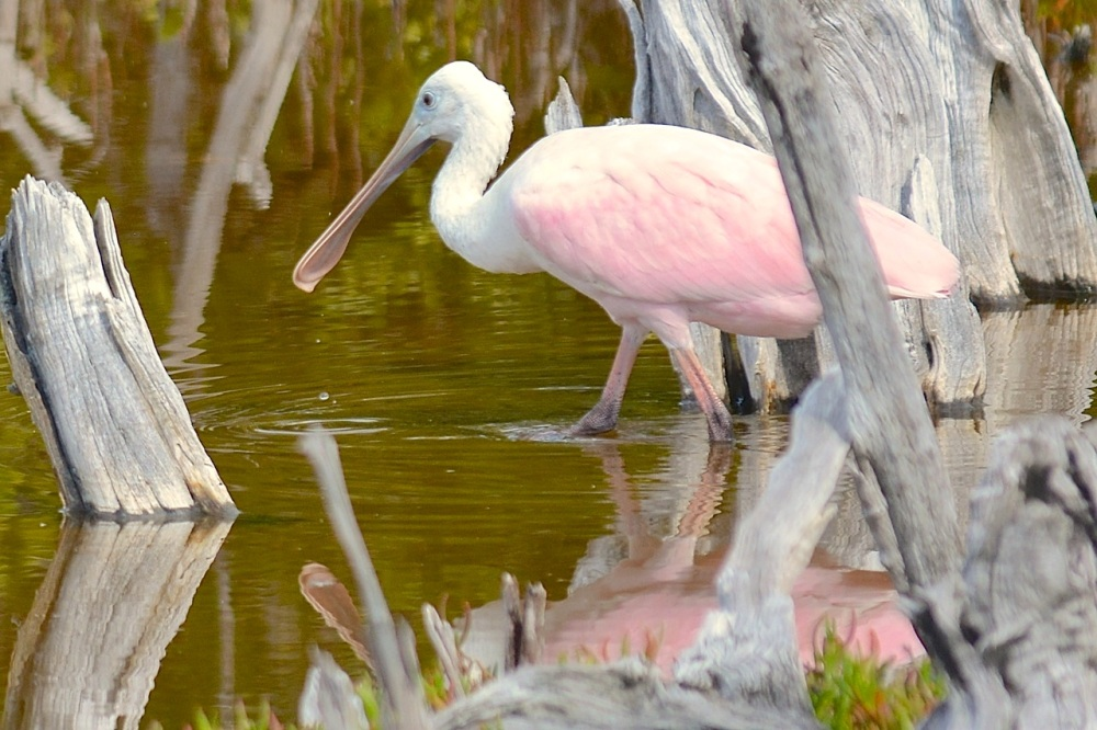 Roseate Spoonbill, Gilpin Pond, Abaco (Keith Kemp)4