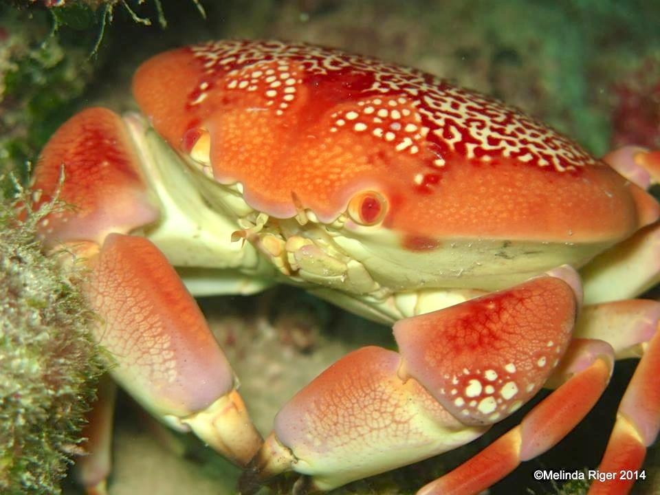 Stone Crab ©Melinda Riger @ G B Scuba