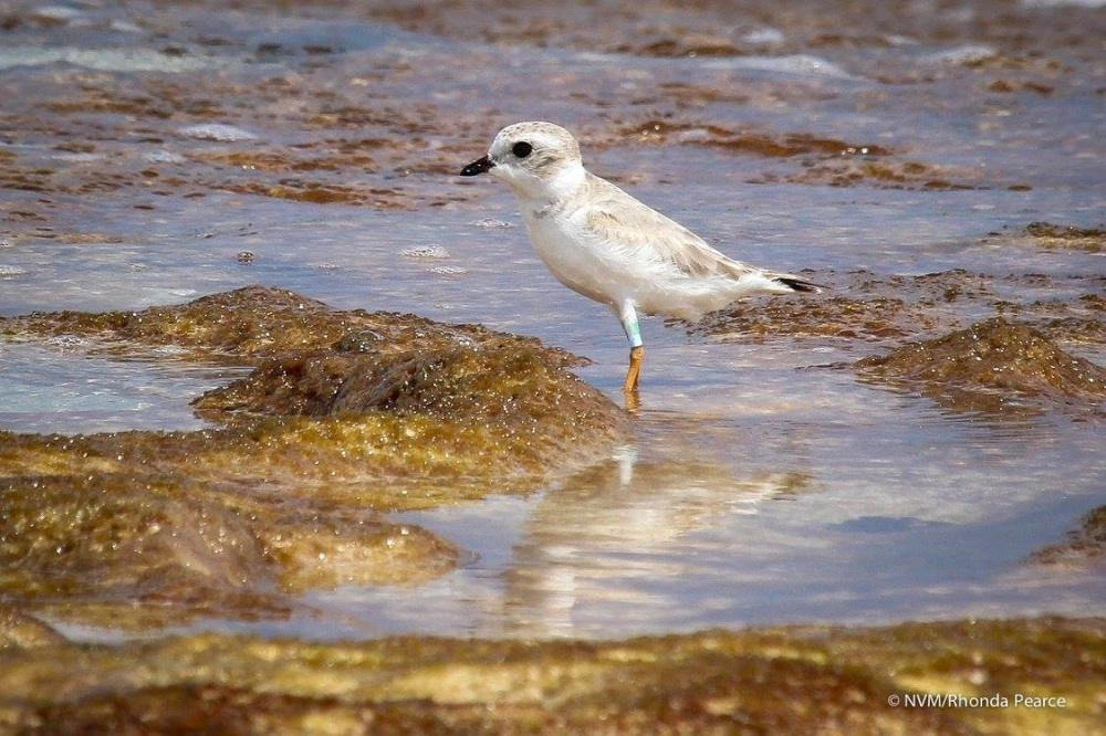 Piping Plover on Abaco Bahamas (Rhonda Pearce)