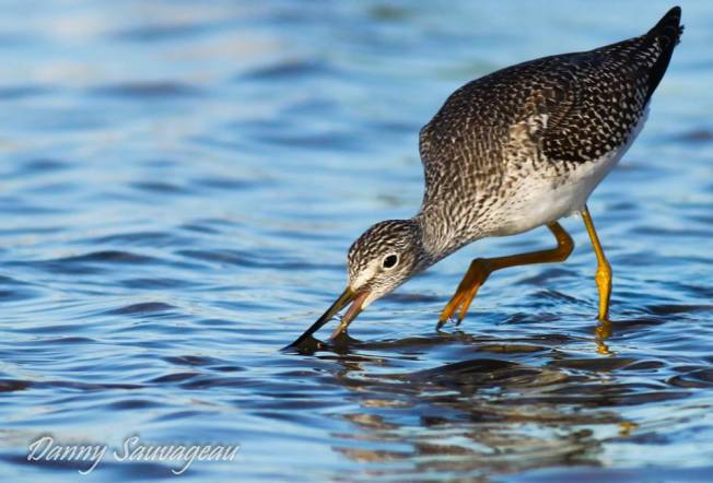 Greater Yellowlegs, FL (©Danny Sauvageau)
