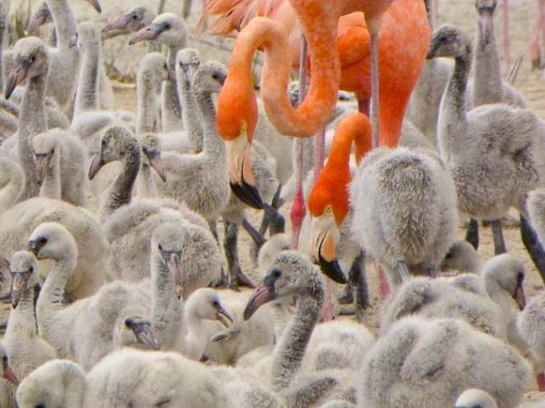Flamingos & Chicks, Inagua (Melissa Maura)
