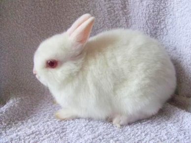 Albino Rabbit (pinterest)