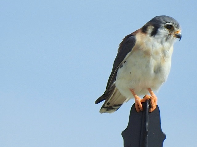 American Kestrel, West End Grand Bahama (Linda Barry-Cooper)
