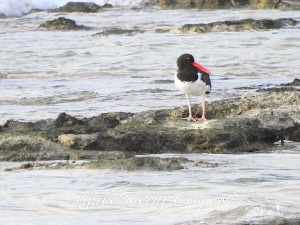 American Oystercatcher, West End Grand Bahama (Linda Barry-Cooper)