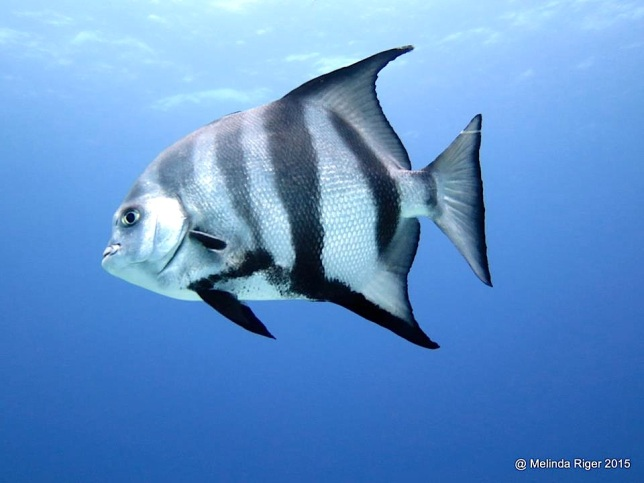 Atlantic Spadefish ©Melinda Riger @ G B Scuba copy 2