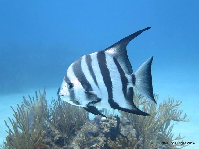 Atlantic Spadefish ©Melinda Riger @ G B Scuba copy