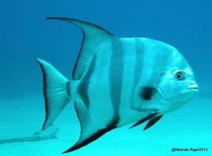 Atlantic Spadefish ©Melinda Riger @ G B Scuba
