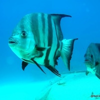ATLANTIC SPADEFISH: BAHAMAS REEF FISH (28)