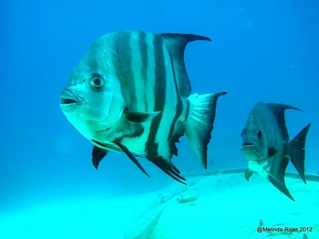 Atlantic Spadefish ©Melinda Riger @GBS