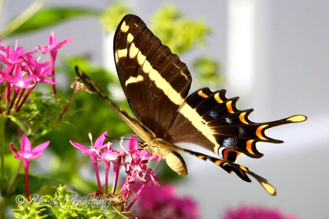 Bahama Swallowtail, Abaco (Rhonda Pearce) 1 copy