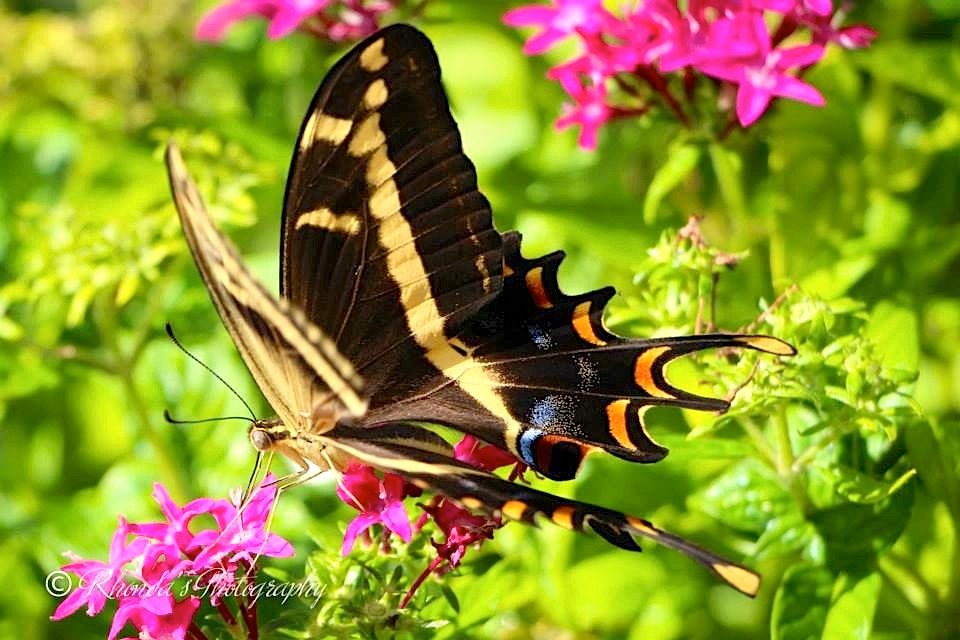 Bahama Swallowtail, Abaco (Rhonda Pearce) 2 copy