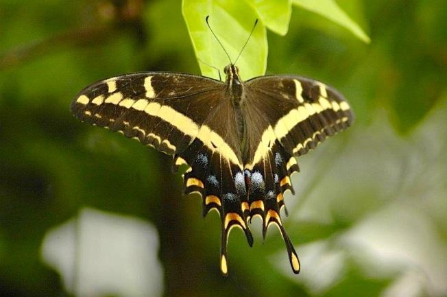 Bahama Swallowtail, Abaco (Uli Nowlan)