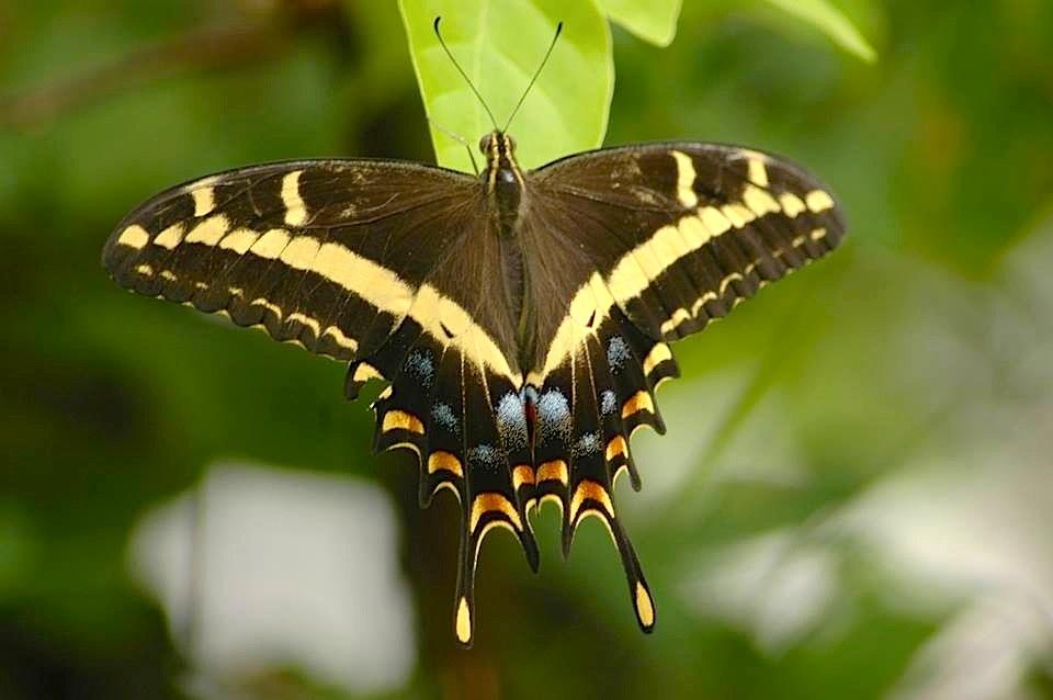 Bahama Swallowtail, Treasure Cay, Abaco (Uli Nowlan) copy