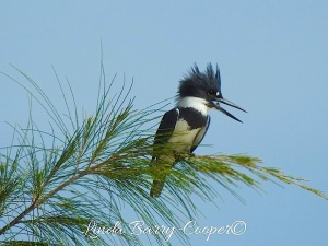 Belted Kingfisher 1Upland Sandpiper, West End Grand Bahama (Linda Barry-Cooper)