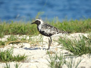Black-bellied Plover, West End Grand Bahama (Linda Barry-Cooper)