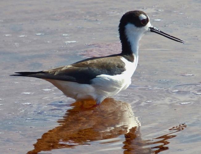 Black-necked Stilt, Gilpin Point, Abaco (Keith Salvesen)