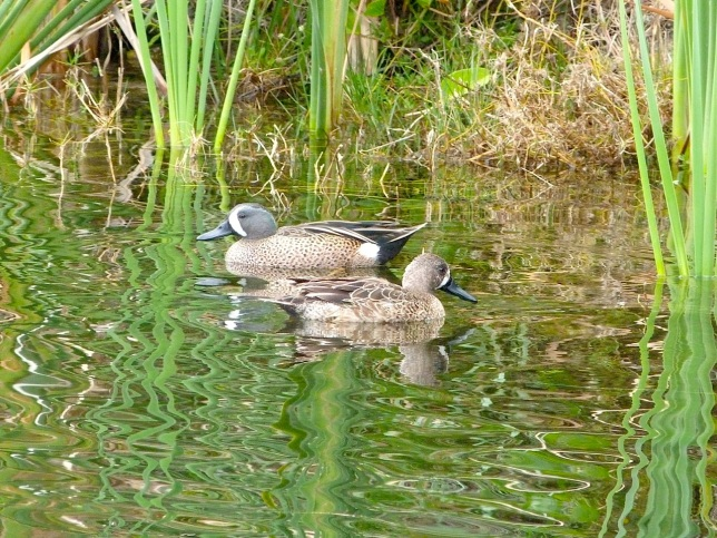 Blue-winged Teal, Abaco (Keith Salvesen)