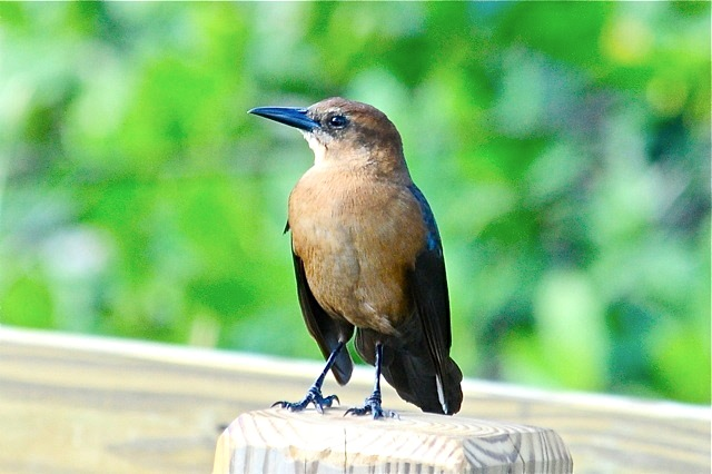 Boat-tailed Grackle (f), Nassau (Woody Bracey)