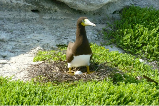 Brown Booby + egg, San Salvador (Woody Bracey)