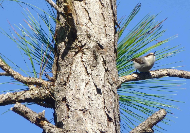 Brown-headed Nuthatch, Grand Bahama (Woody Bracey) cr sm copy