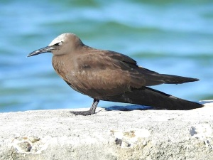 Brown Noddy, West End Grand Bahama (Linda Barry-Cooper)