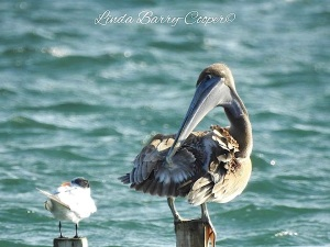 Brown Pelican, West End Grand Bahama (Linda Barry-Cooper)