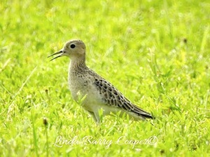 Buff-breasted Sandpiper, West End Grand Bahama (Linda Barry-Cooper)