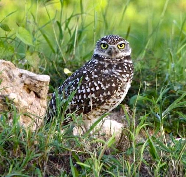 burrowing-owl-great-inagua-woody-braceyjpg