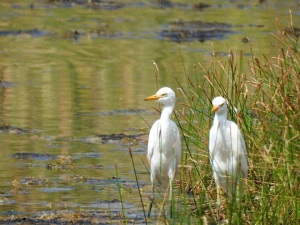 Cattle Egrets, West End Grand Bahama (Linda Barry-Cooper)