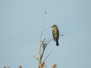 Eastern Wood-Pewee, West End Grand Bahama (Linda Barry-Cooper)