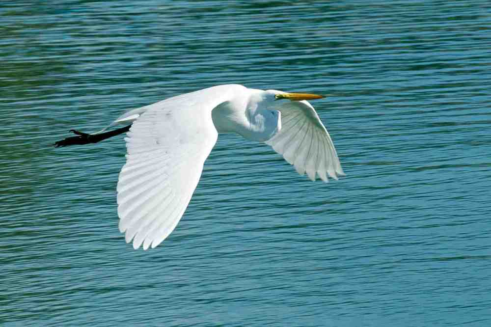 Great Egret, Abaco Bahamas (Nina Henry)