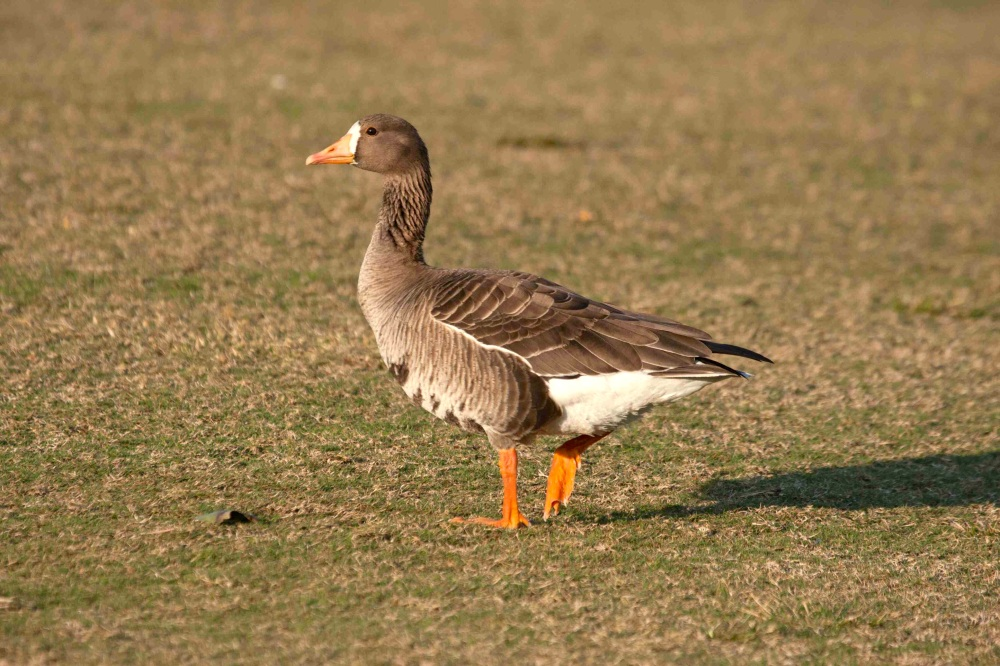 Greater White-fronted goose Abaco (Erik Gauger) sm
