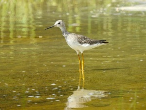 Greater Yellowlegs, West End Grand Bahama (Linda Barry-Cooper)