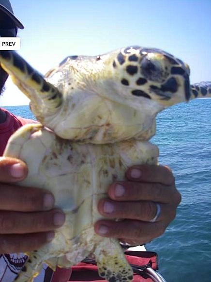 Hawkbill Turtle Plastic breathecostarica copy