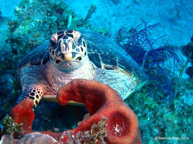 Hawksbill Turtle ©Melinda Riger @ G B Scuba copy 3