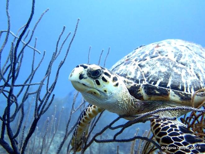 Hawksbill Turtle ©Virginia Cooper @ G B Scuba