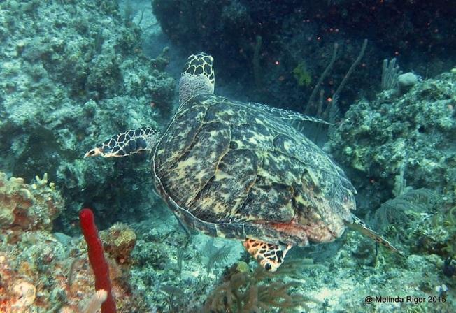 Hawksbill Turtle (flipper damage) ©Melinda Riger @ GB Scuba